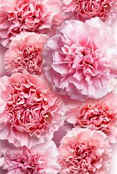 Image result for pink carnation
