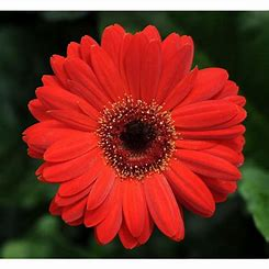 Image result for Gerber Daisies